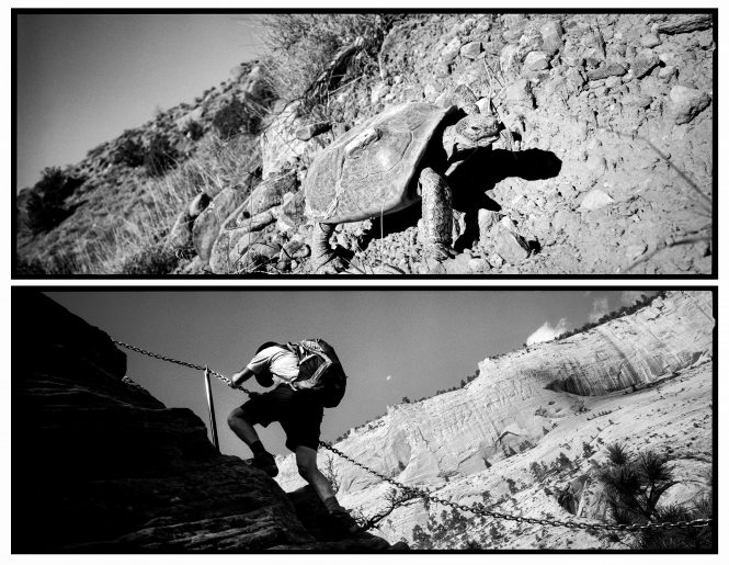 Both carrying what they need with them, a threatened desert tortoise scrambles up a hillside having evolved and adapted to this harsh terrain, while a hiker with his backpack climbs up the treacherous ledge trail to Angel's Landing with the assistance of steel chains.